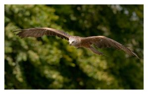 Black Kite in Flight by Neutron2K