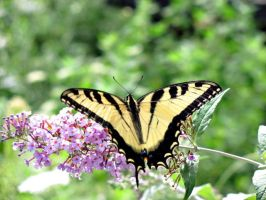 Swallowtail Butterfly-2 by Sam-Finch
