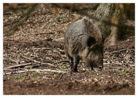 Wild Boar by neilwightman