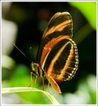 Butterfly by iampeewee