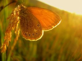 sunset butterfly by aripi