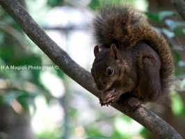 squirrel by HenriqueAMagioli