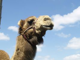 camel by Irie-Stock