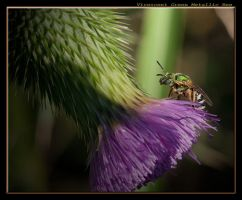 Green Bee on a thistle by boron
