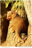 Dwarf Mongoose by In-the-picture