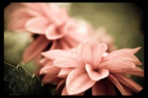 Petals of Peace by photofrk77
