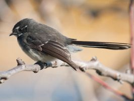 Grey Fantail 04 by 88-Lawstock