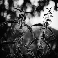 Stinging Nettle by MichiLauke