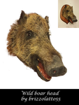 Wild boar head by Brizzolatto55