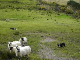 Sheep dogs by TheBuggiest