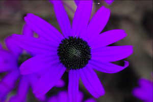 Psychedelic Photoshopped Series - Purple Sunflower by SamiJae