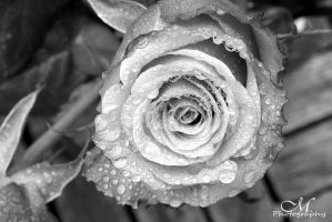 black rose. by MartinaPhotography