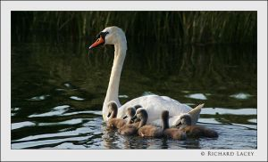 Swan with Cygnets by RichyX83