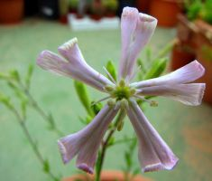 Woody Catchfly flower by floramelitensis