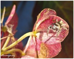 Golden Jumping Spider by stormymay888