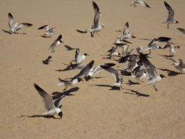 Seagull Stock 5793 by sUpErWoLf--StOcK