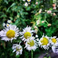Daisies by marc-the-kid