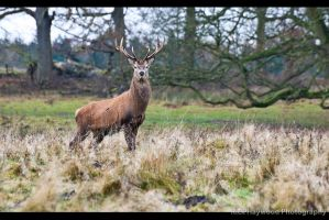 The Stag 145-12n by mym8rick