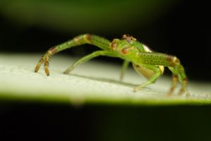 Small Green Crab Spider by Alliec