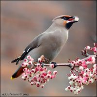 Waxwing And Berry. by andy-j-s