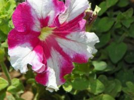Petunia by MileyPink26
