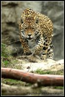 Stalking Jaguar by AF--Photography