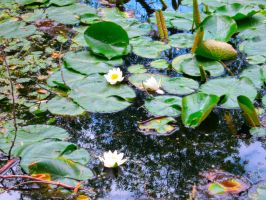 Lilly-pads by Foxiwan