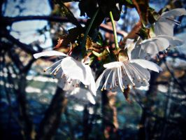 hanging blossoms by mysteriousfantasy