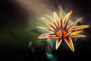 Gazania by shadddow