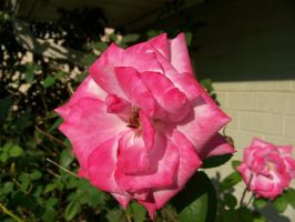 A Pink Rose by Fully-Stocked