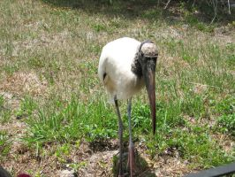 Wood Stork 3 by Polly-Stock
