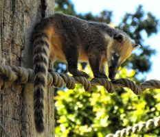 Ring-tailed Coati by LostInMyChaos