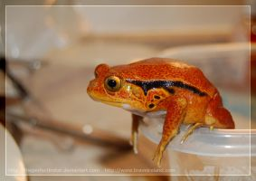 Tomato Frog by theperfectlestat