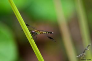 Dragonfly by andreibsc