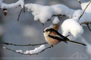 SnowTit by thrumyeye