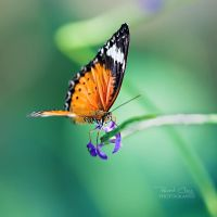 .:Delicate Wings:. by RHCheng