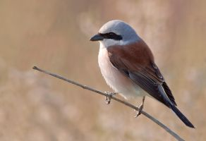 Wake up in the morning light - Red-backed Shrike by Jamie-MacArthur