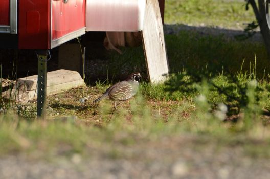 Clutter Quail by RedFeatherEagle