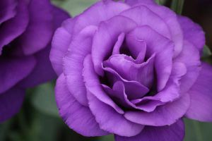 Purple flower by Bohyou