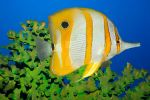 Tropical fish Butterflyfish by MotHaiBaPhoto