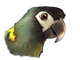 yellow collared macaw by Khimera