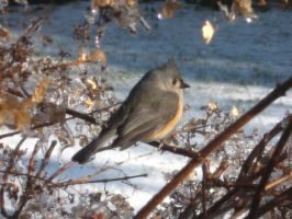 Tufted Titmouse by CometColt