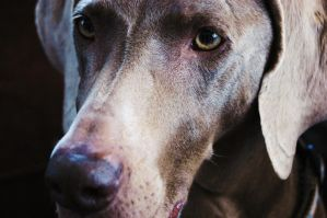 weimaraner by Tryst-IN