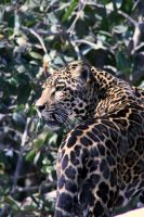 Jaguar 001 by FoxWolfPhoto