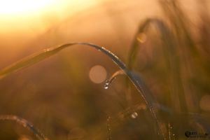 Golden morning dew I by narisign