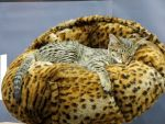 Savannah Cat by Kitteh-Pawz