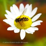 Hoverfly on a Daisy by Hitomii