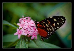 Heliconius hecale. by feudal89