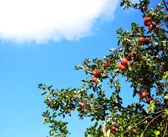 Appletree by alexmagdesign