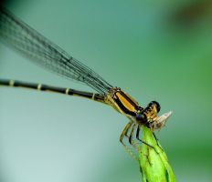 Damselfly eating by duggiehoo